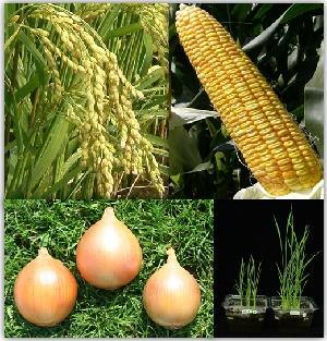 北海道農業研究センター:作物開...