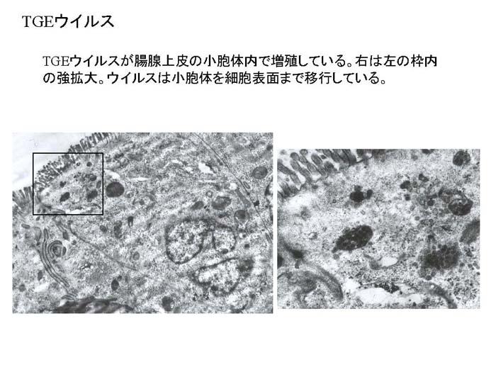 動物衛生研究部門:電子顕微鏡で...