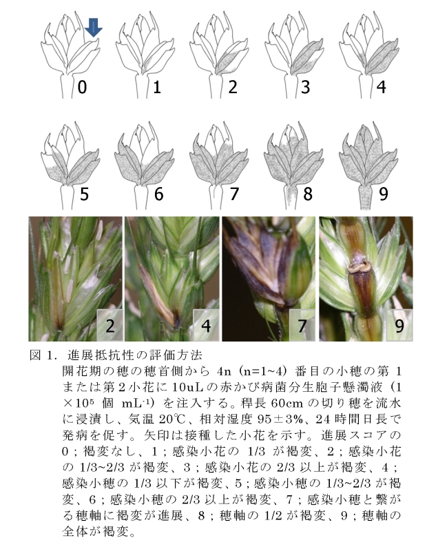 小穂および穂軸の褐変によるコムギの赤かび病進展抵抗性の評価