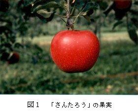 図1 「さんたろう」の果実