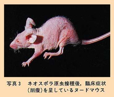 ヌード マウス