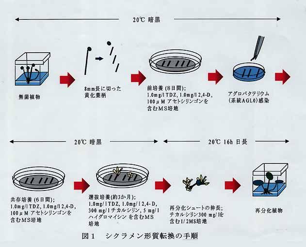 図1 シクラメン形質転換の手順        その他 研究課題名:花きにおける形質転換系の開発