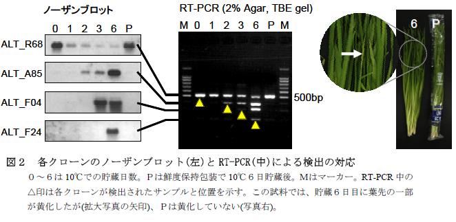 遺伝子発現を利用したニラの鮮度評価法