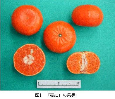 図1 「カンキツ口之津32号」の果実