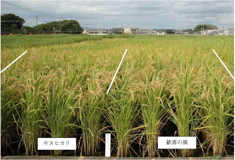 写真1 「歓喜の風」の草姿