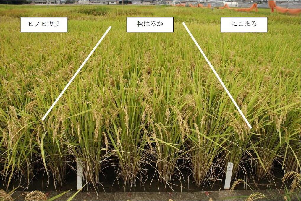 写真2「秋はるか」の育成地の標肥栽培における草姿