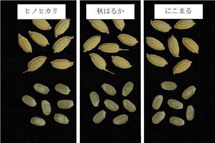 写真3「秋はるか」の籾と玄米