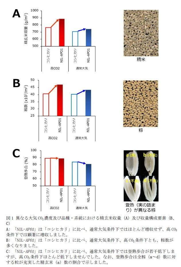 図1 異なる大気CO2濃度及び品種・系統における精玄米収量(A)及び収量構成要素(B、C)