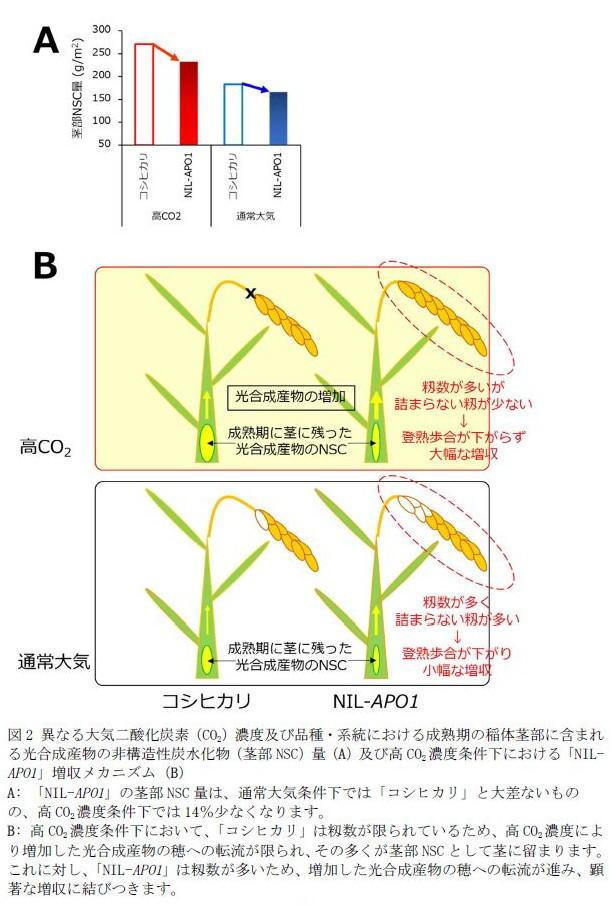 図2 異なる大気二酸化炭素(CO2)濃度及び品種・系統における成熟期の稲体茎部に含まれる非構造性炭水化物(茎部NSC)量(A)及び高CO2濃度条件下における「NIL-APO1」増収メカニズム(B)