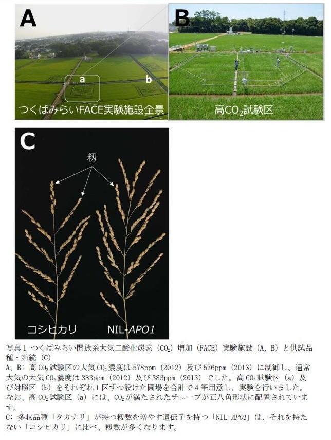 写真1 つくばみらい開放系大気二酸化炭素(CO2)増加(FACE)実験施設(A、B)と供試品種・系統(C)