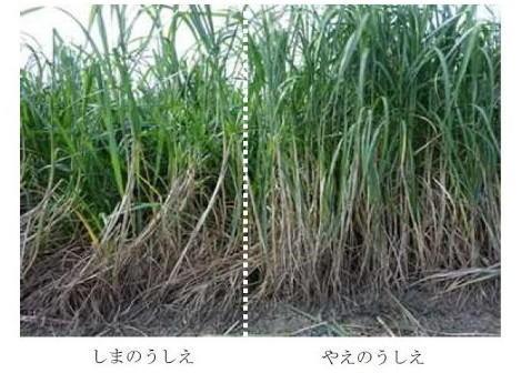 図2 一番草収穫期における「しまのうしえ」(左側)と「やえのうしえ」(右側)の草姿