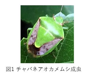 図1 チャバネアオカメムシ成虫
