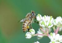 ニホンミツバチの写真