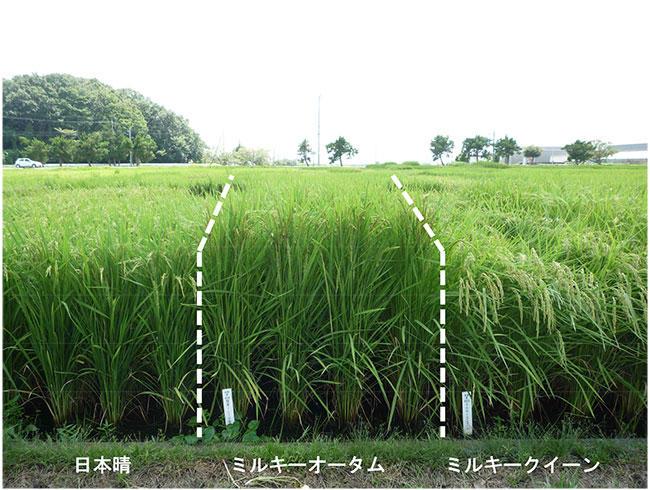 写真3「ミルキーオータム」の圃場での草姿