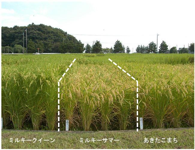 写真3 「ミルキーオータム」の圃場での草姿