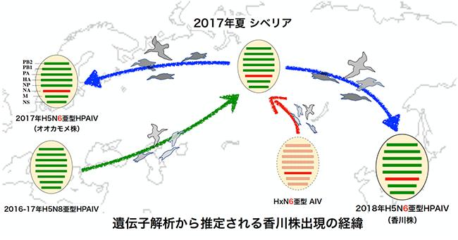 遺伝子解析から推定される香川株出現の経緯