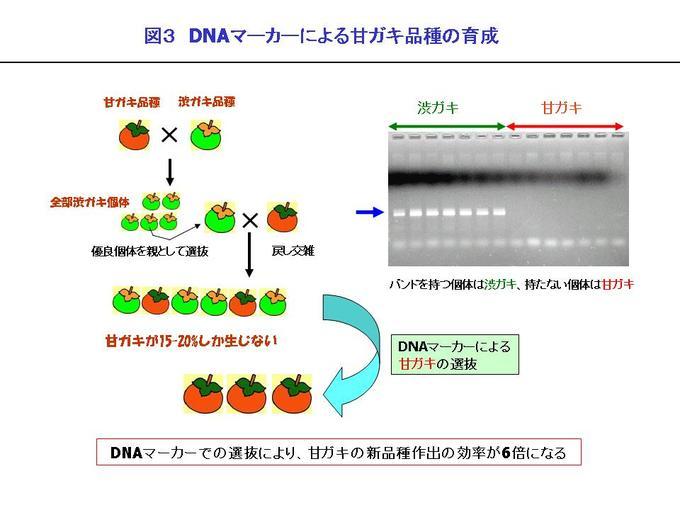 DNAマーカーによる果樹育種の加...